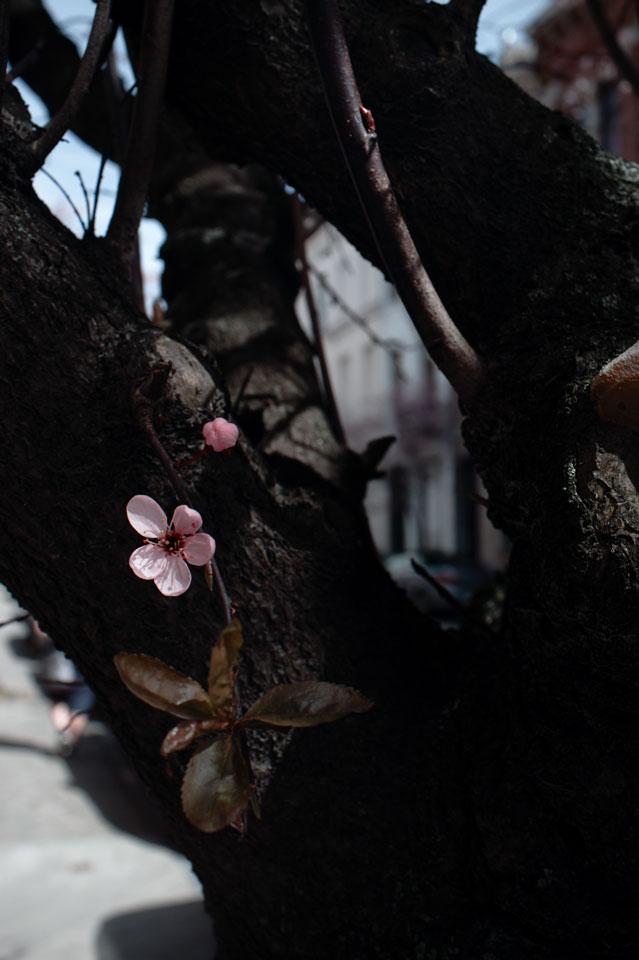 Cerisier01v50