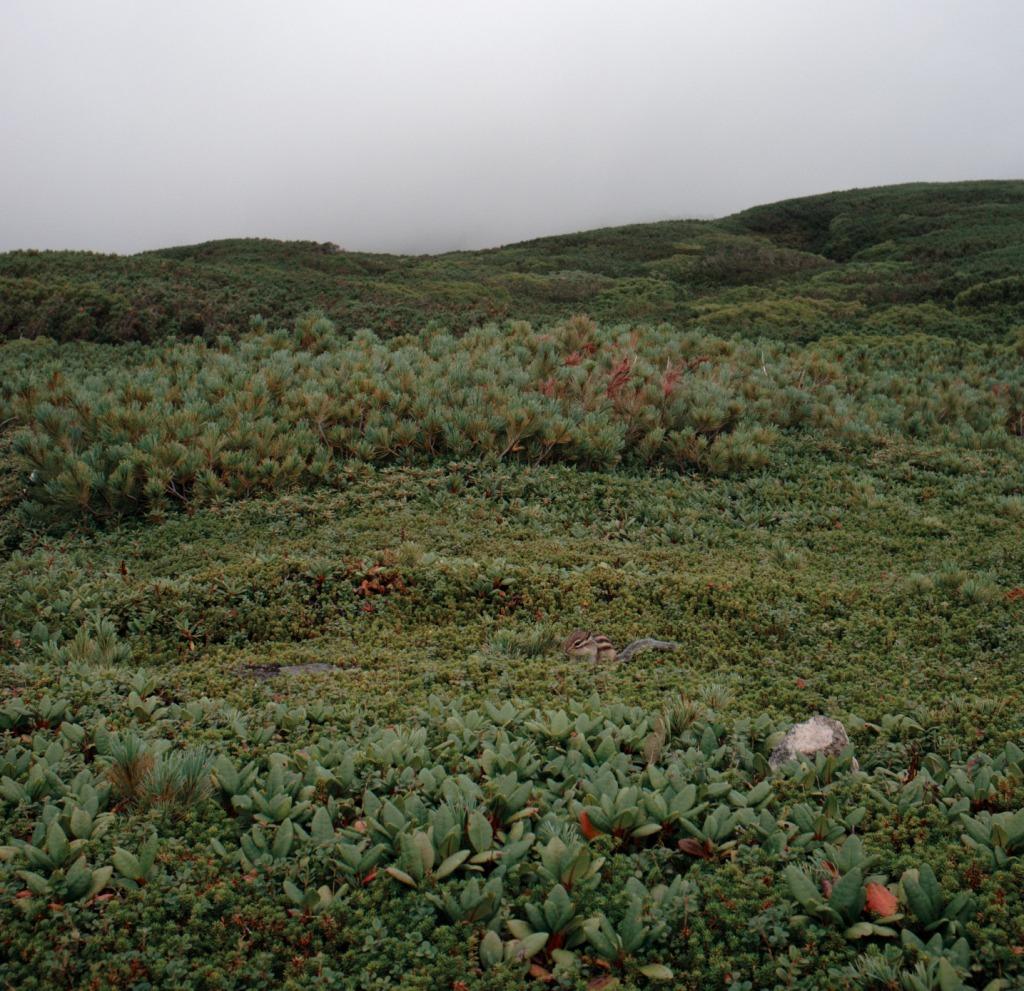 Daisetsuzan National Park 大雪山国立公園 - Asahi-dake 旭岳13 - Siberian chipmunkV50
