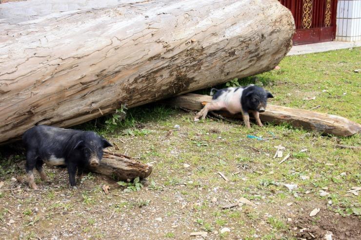 Shangri-la - itchy pigs