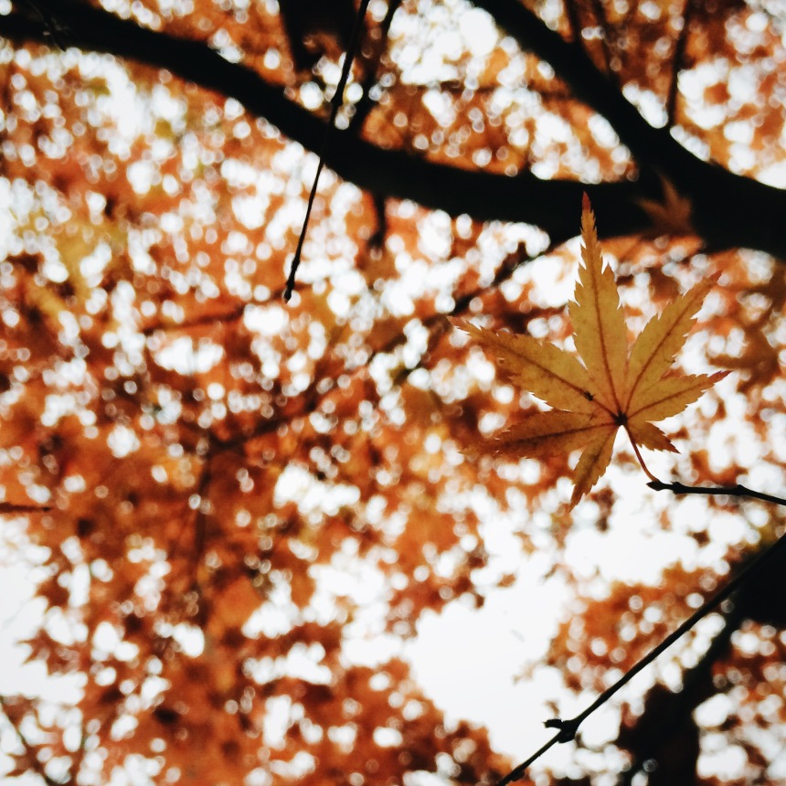 Autumn leaves on a Japanese maple