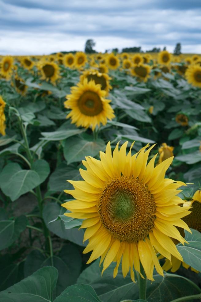 Himawari-no-Sato sunflower farm
